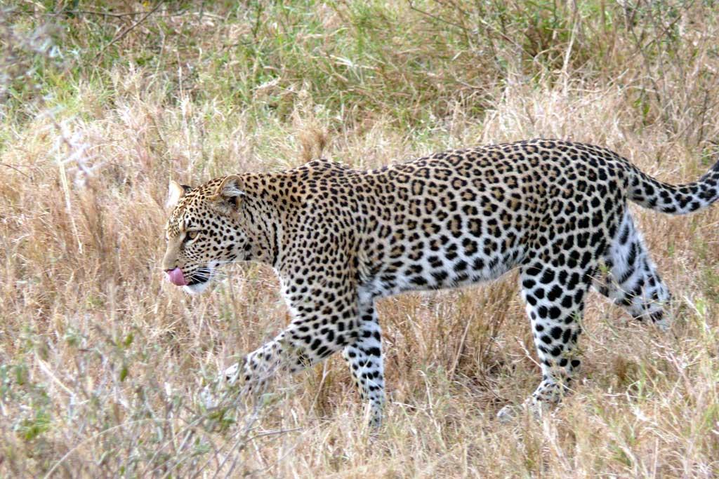 Chui - Leopard
