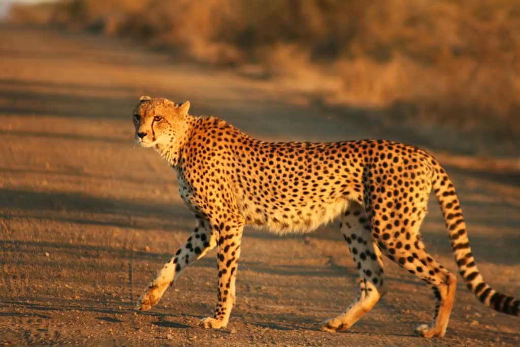 Duma - Cheetah