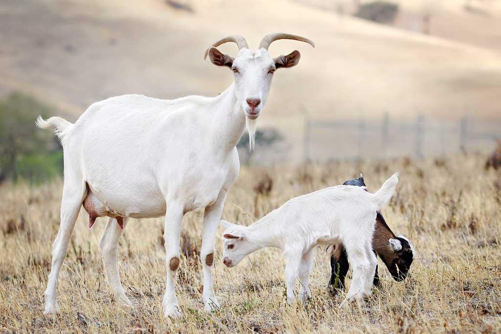 Goat - Mbuzi