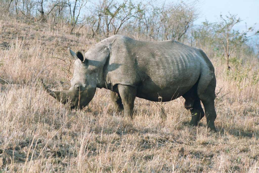 Kifaru - Rhino