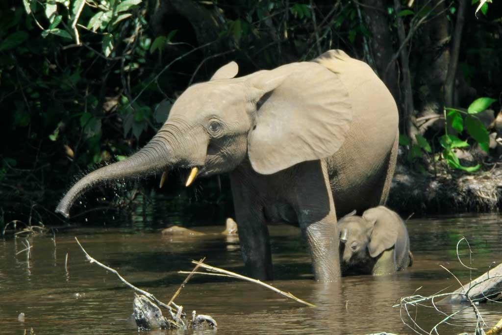 Ndovu - Elephant