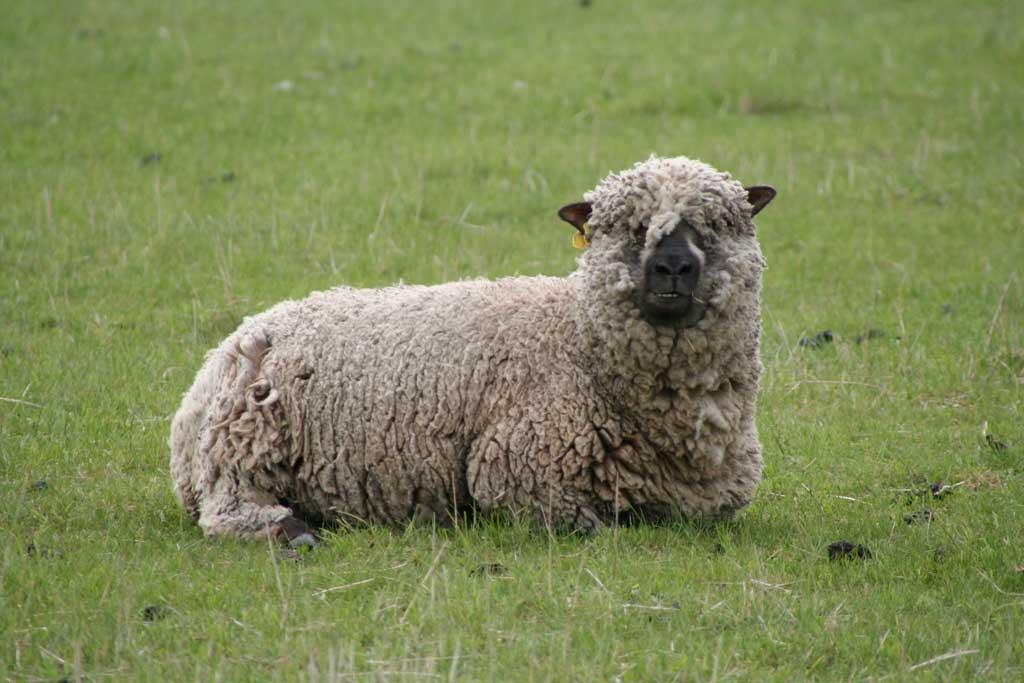 Sheep - Kondoo