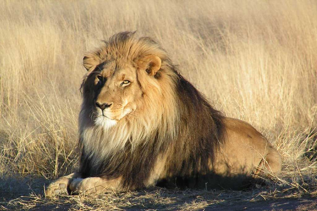 Simba - Lion